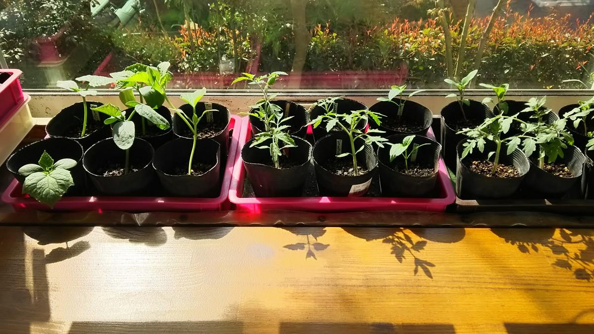 出窓で育成中の夏野菜_日中