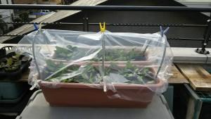 種を直播した野菜の保温