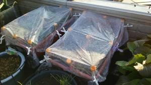 保温育成中のレタスの苗