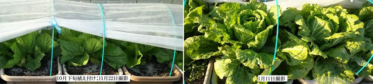 白菜の生育状況