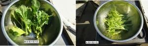 野沢菜と水菜の菜の花