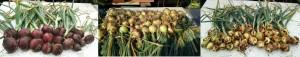5月24日収穫・タマネギ2種