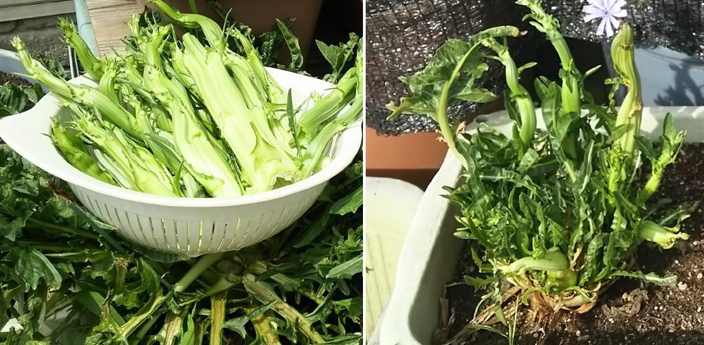 春植えプンタレッラ_最初の収穫と二度目以降の収穫