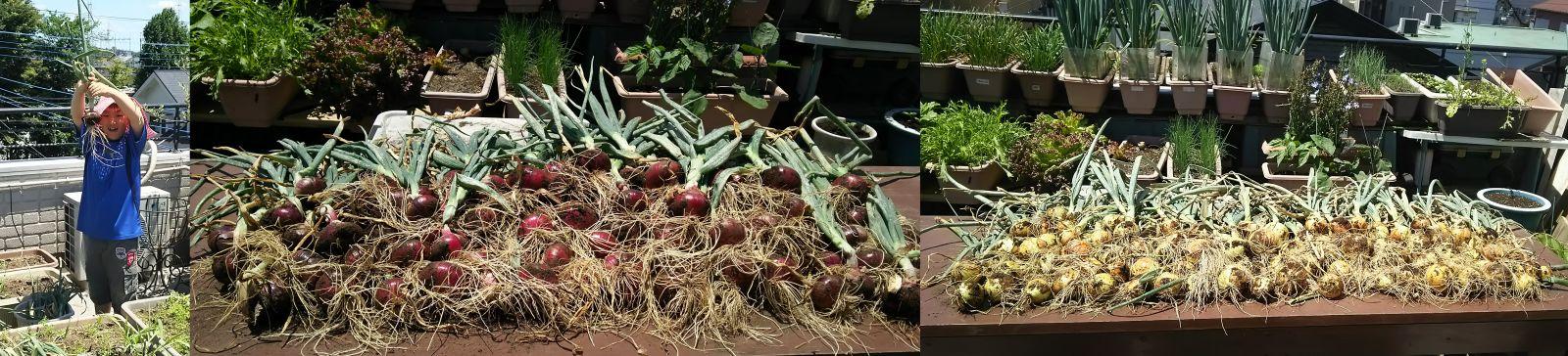 タマネギの収穫_5月20日