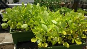 肥料不足の枝豆の葉
