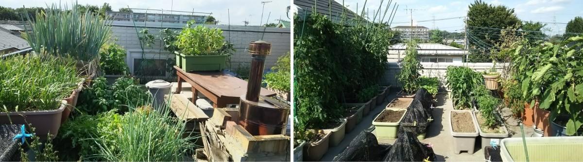 7月初旬の屋上菜園の風景