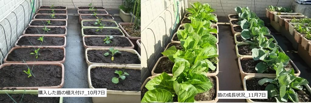 苗を購入した白菜・キャベツの生育状況