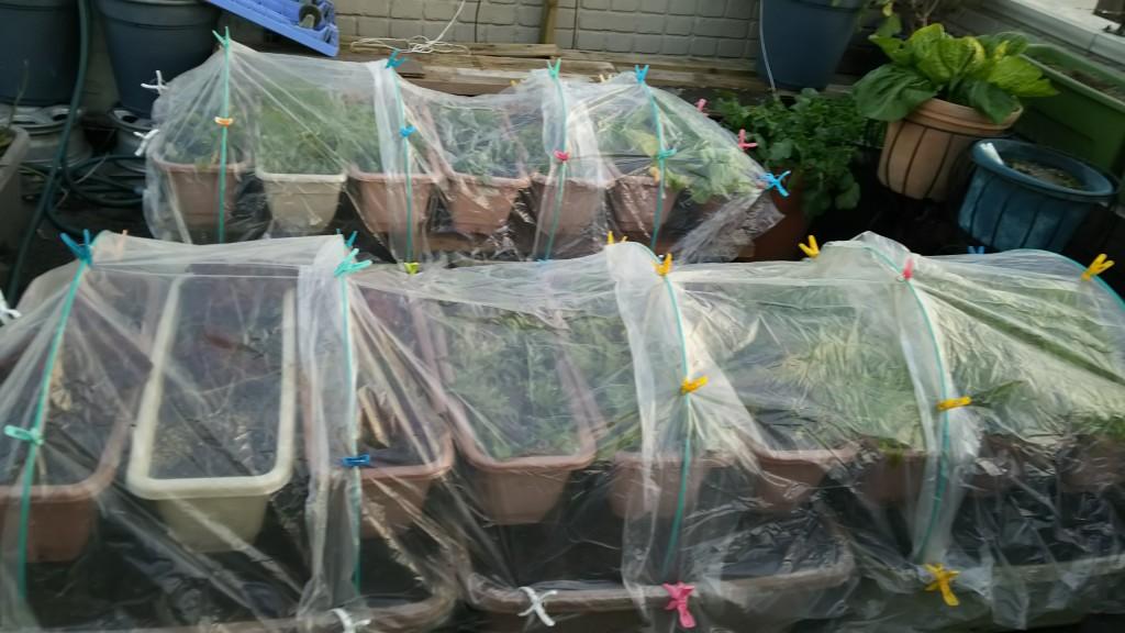 葉物野菜の防霜仕掛け