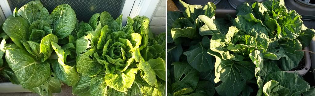 9月下旬に種蒔きをした白菜とキャベツの生育状況