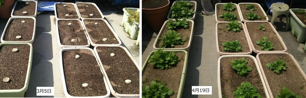 ジャガイモの生育状況の比較