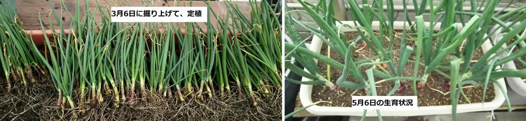 早春に定植した生食用タマネギの生育状況