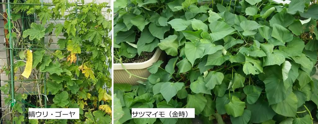 袋栽培_縞ウリ・ゴーヤ・サツマイモ_7月28日
