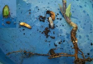コガネムシとその幼虫