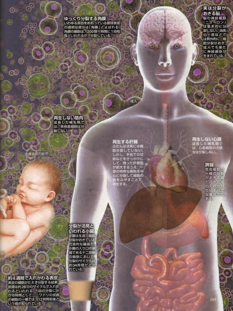 人体の細胞の寿命