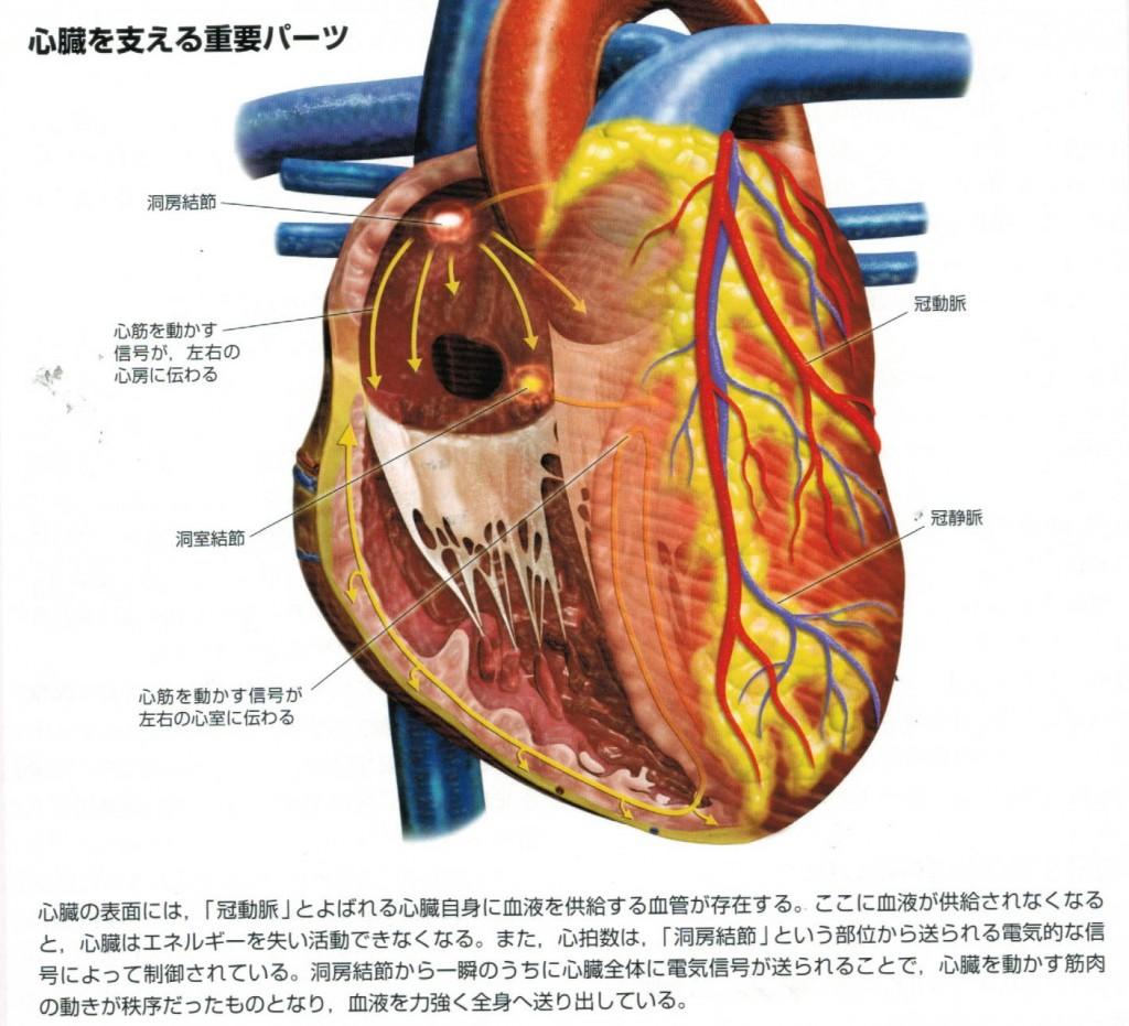 心臓を支える重要パーツ